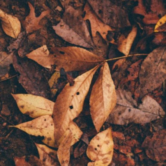 Pile of brown autumn leaves.