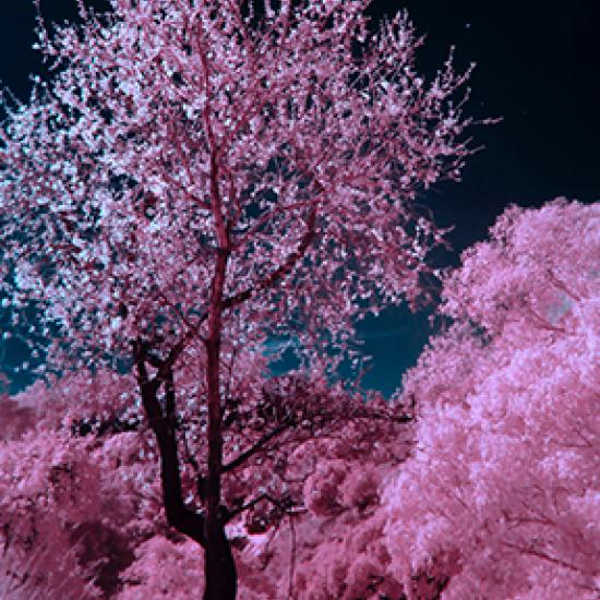 Image of pink blossom tree