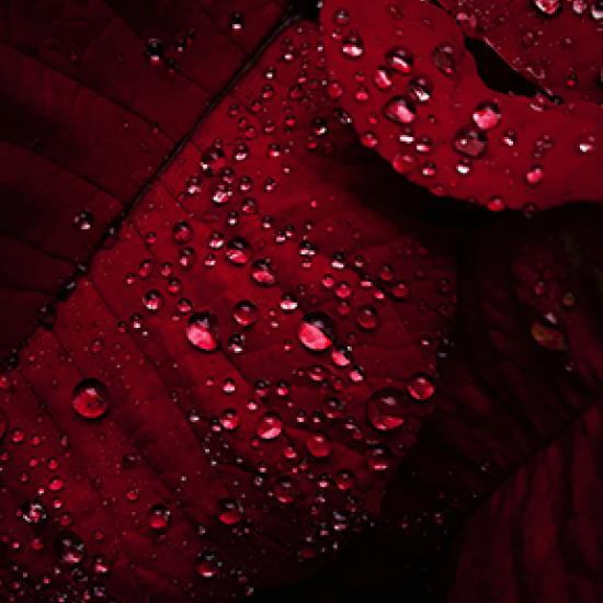 close up of red leaf with water drops