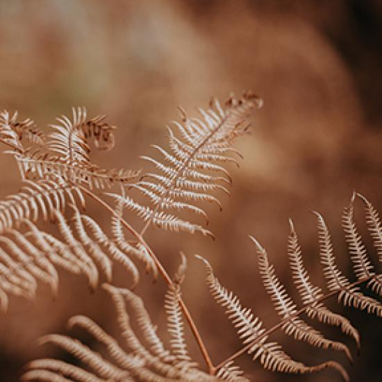 close up of a dried fern plant