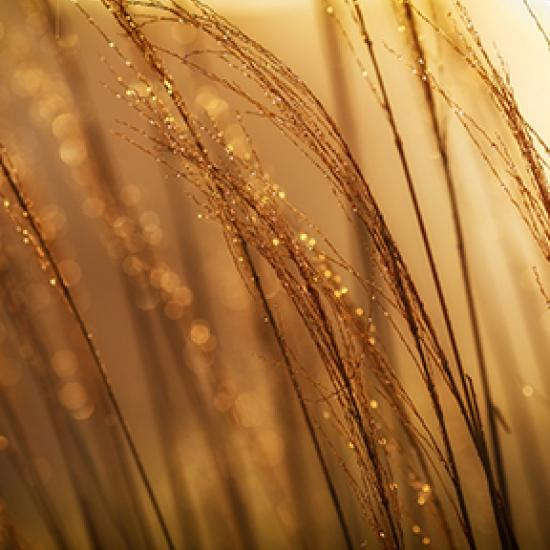 Close-up of golden branches in a field.
