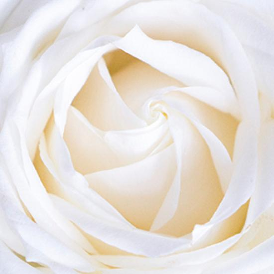Inside of a white rose