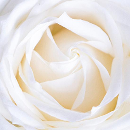 Inside of a white rose