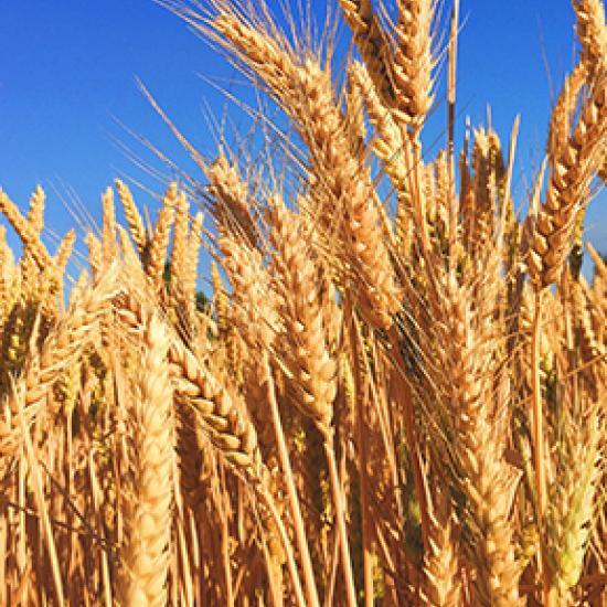 golden specks of wheat